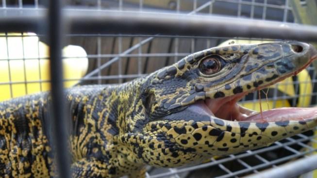 3 Dozen Exotic Tegu Lizards Captured in Panama City Neighborhood