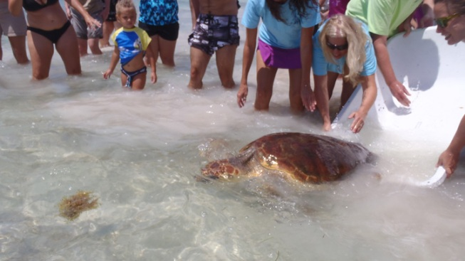 Loggerhead Sea Turtle Released In Islamorada After Treatment