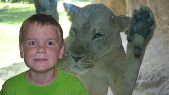 Boy Stunned When Lioness Lunges For Him Behind Glass Enclosure