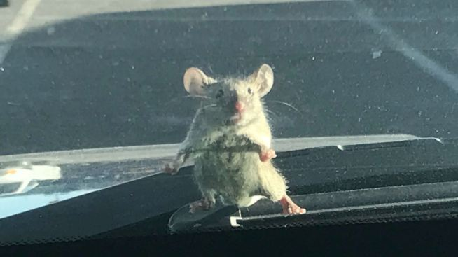 Mouse Surprises an Alameda County Sheriff Deputy
