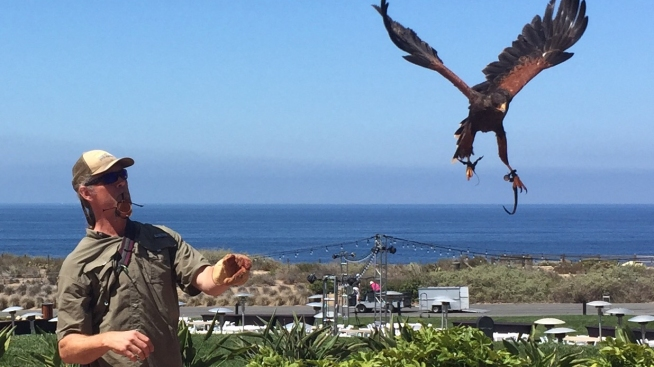 Palos Verdes Resort Uses Birds of Prey to Keep Seagulls Away