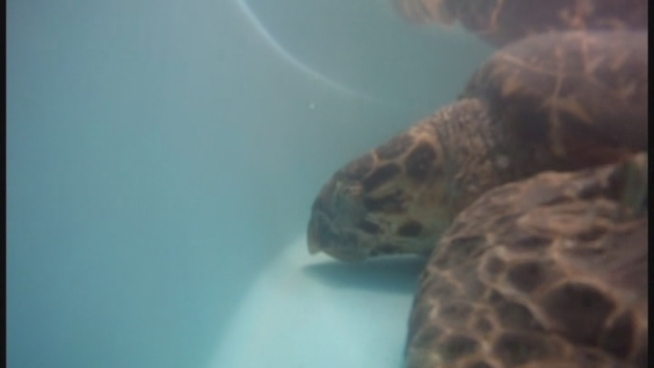 A rare hawksbill turtle found severely injured on the beach in St. Croix after Tropical Storm Isaac was slowly recovering at a turtle hospital in the Florida Keys. The turtle, named Good Hope, was flown to Miami on Sunday and brought to the Turtle Hospital in Marathon. When Good Hope was brought to the hospital the prognosis was about 10 percent. Now it s 50 percent, said Dr. Doug Mader.