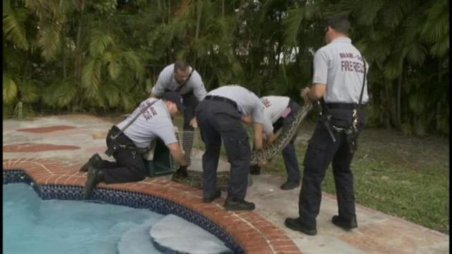 A 13-foot Burmese Python was found in a pool of a Palmetto Bay pool.