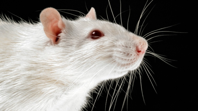 Paralyzed Rats Gain Ability to Walk, Run