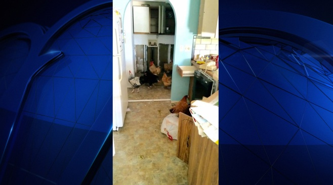 100 Chickens Found Living in Florida Woman's House