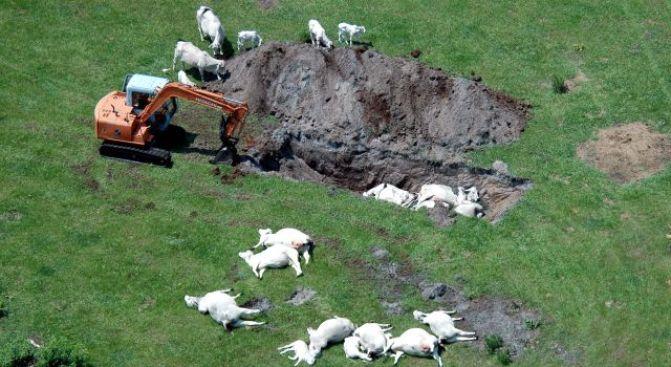 Lightning Strike Cooks 15 Cows