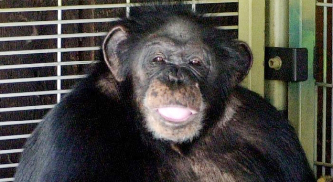 """""""I Didn't Give Him Xanax"""" Chimp Owner Says"""