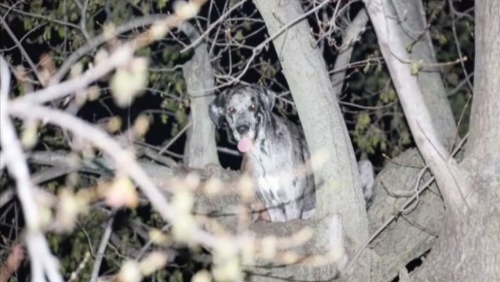 Great Dane Gets Stuck in Tree