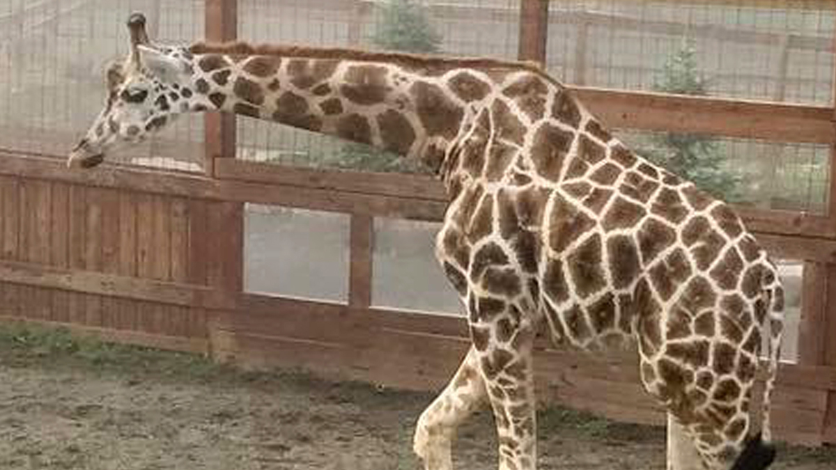 April the World-Famous Giraffe Is Back in Labor