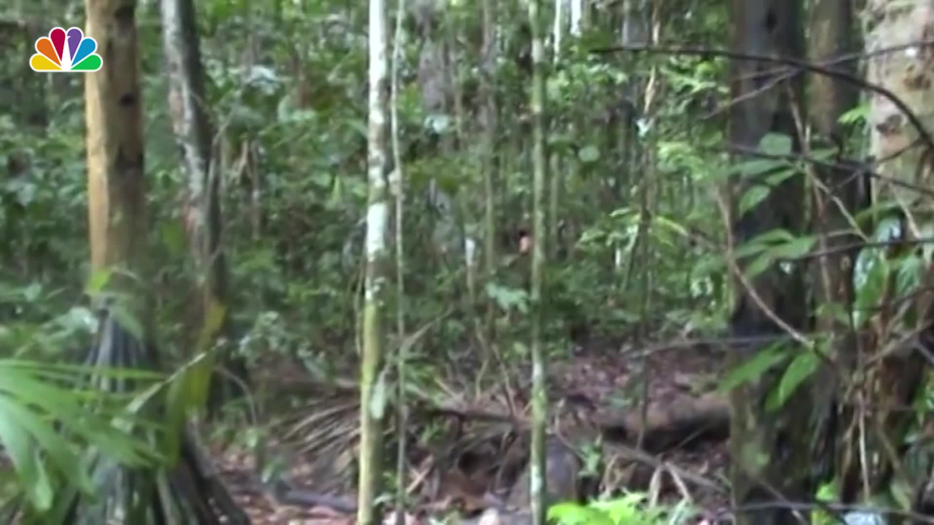 Brazilian Indigenous Man Chops Down a Tree in the Amazon Rare Footage Shows NBC 6 South Florida